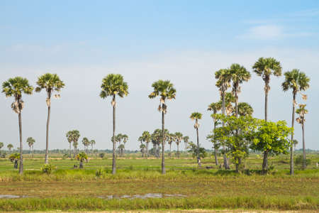 Sugar palm trees in the field,toddy-palm background Stock Photo - 17964537