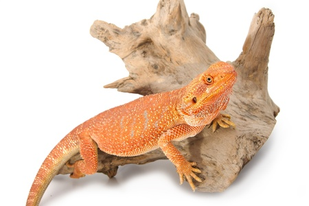 Bearded Dragon on branch