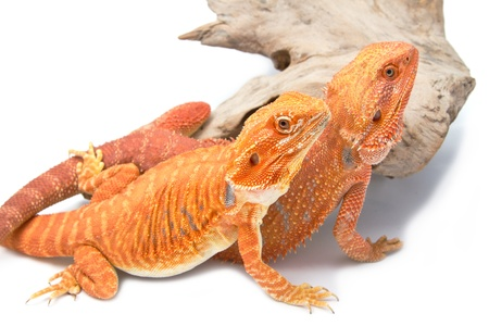 Two Bearded Dragon photo