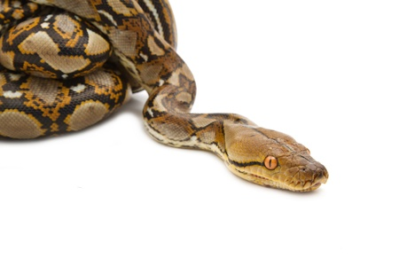 pet photography: Close up of Reticulated Python, isolated
