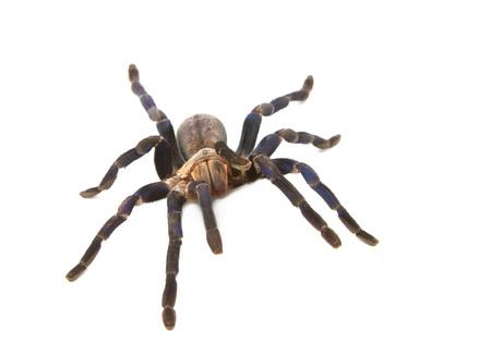 arachnophobia animal bite: Cobalt Blue Tarantula (Haplopelma lividum), Isolate