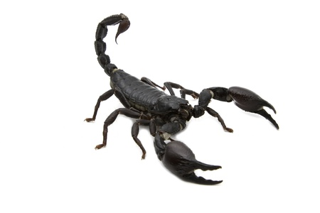 Black Scorpion  in combat position Standard-Bild