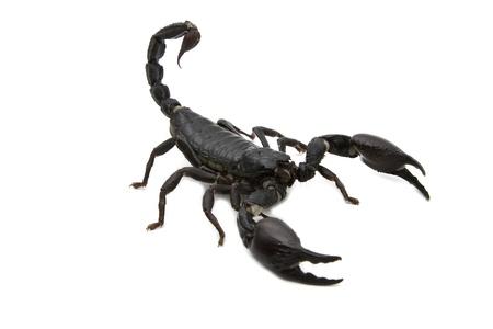 Black Scorpion  in combat position Stock Photo