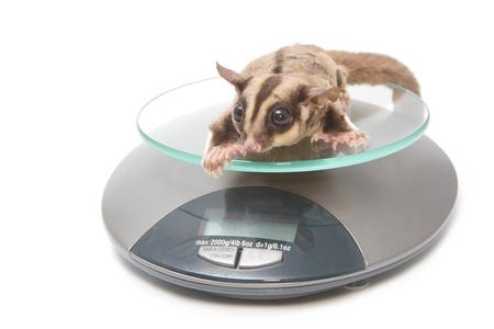 animal health - Sugar glider on weigh scales