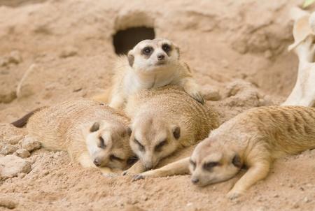 erdmaennchen: Group of meerkat sleep  on a sand.