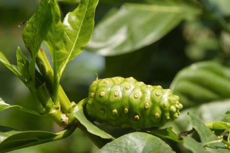 noni fruit: Noni fruit,Morinda citrifolia Stock Photo