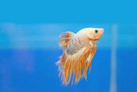 splendens: golden fighting fish, betta splendens