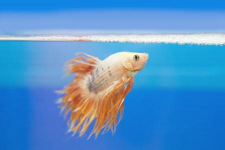 half moon tail: golden fighting fish, betta splendens