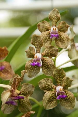 palmer: Fragrant Vanda Orchid,specific name Vanda Mimi Palmer