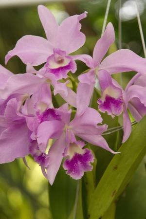 cattleya: Purple  Cattleya  Orchid, isolated