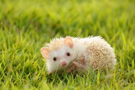 Petit hérisson dans l'herbe verte