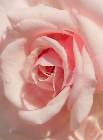 softness: Softness pink rose