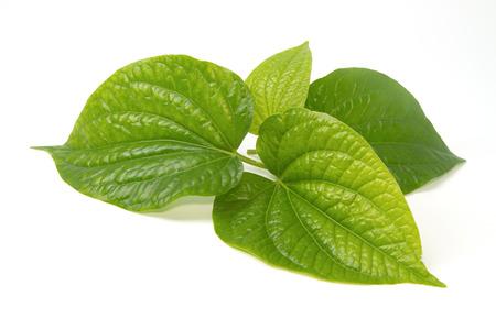 Wildbetal Leafbush (Piper sarmentosum Roxb.) Herbal  and medicine.