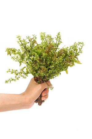Neem leaves-Azadirachta indica, Margosa, Quinine (Azadirachta indica A. Juss. Var. Siamensis Valeton) Stock Photo - 25039211