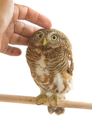 owlet: Owl bird (collared owlet) with a hand