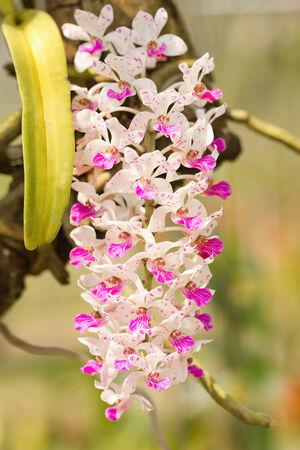gigantea: Rhynchostylis gigantea orchid flowers