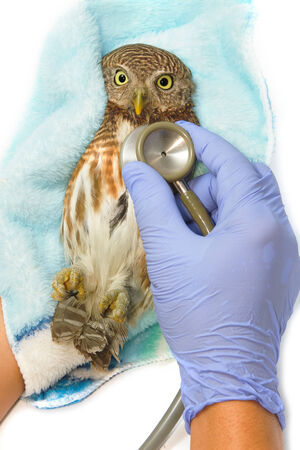 owlet: veterinarian holding and checkup Asian Barred Owlet (Glaucidium cuculoides)