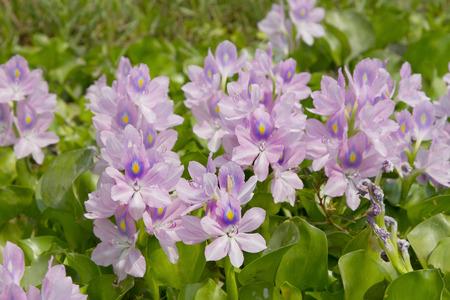 water hyacinth: Flower of a water hyacinth on Lake
