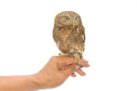 trusting: owl sitting on handlers hand Stock Photo