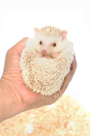 Little Hedgehog on hand photo
