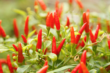 red chili pepper: Red chili pepper plant Stock Photo