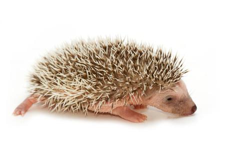 pygmy: baby pygmy hedgehog Stock Photo