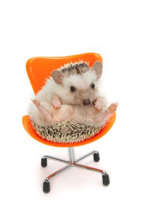 pygmy: cute pygmy hedgehog on orange chair