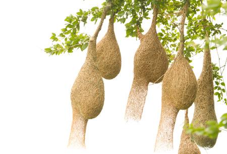 nido de pajaros: Baya weaver nido de pájaro en una rama del árbol