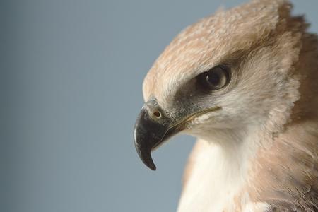 Closeup hawk upper body and head shot photo