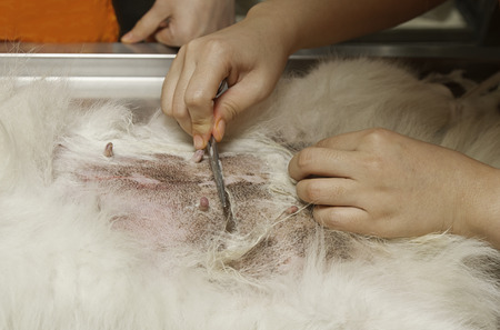 Shaved dog under anesthesia prepared for sterilization operation photo