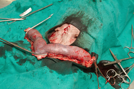 Surgery of pyometra (uterus infection) in the dog photo