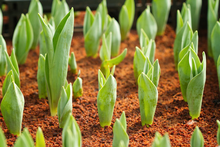 bulb and stem vegetables: Spring tulip bulbs with green stems in the garden Stock Photo