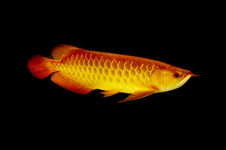 arowana fish (Scleropages aureus),dragon fish photo