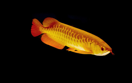 arowana fish (Scleropages aureus) photo