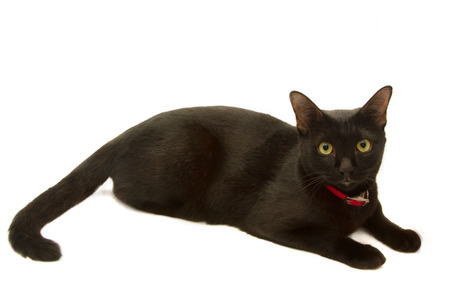 moggi: healthy black cat lying isolated