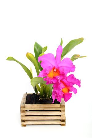 cattleya orchid: violet  cattleya orchid