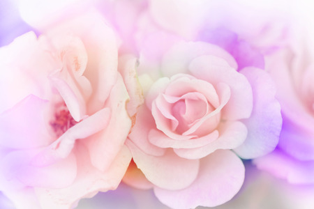Pink rose background,Flower blur background photo