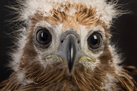 Young Brahminy Kite , Red-backed Sea-eagle photo