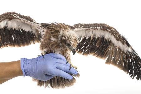 immunize: Sea-eagle on Veterinarys hand prepare to examination wing Stock Photo