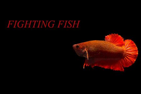 splendors: siamese fighting fish Stock Photo