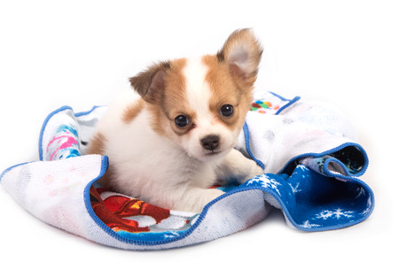 long haired chihuahua: Portrait of chihuahua puppy Stock Photo