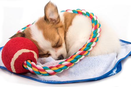 long haired chihuahua: Portrait of chihuahua puppy sleep Stock Photo