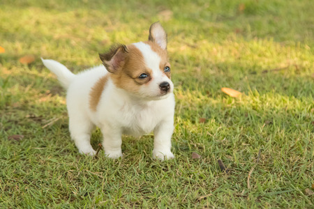 chihuahua puppy: Portrait of chihuahua puppy in green nature Stock Photo