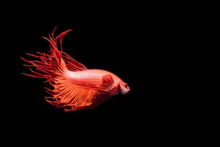 betta splendens: Fighting Fish,Beautiful Betta splendens