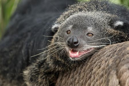 bearcat: Binturong, Bearcat, Arctictis binturong on branch