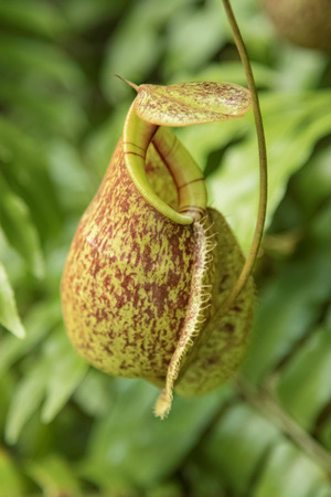 nepenthes: Close up of the nepenthes