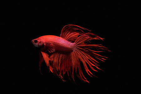 fire fin fighting: red siamese fighting fish isolated on black background