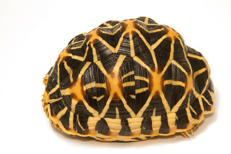 tardy: Indian Starred Tortoise on white background Stock Photo