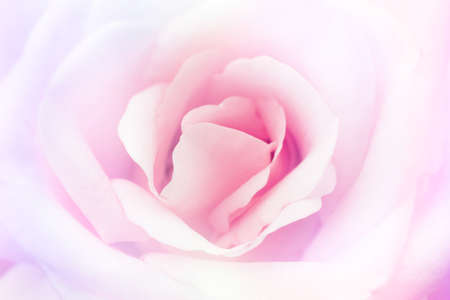red rose bokeh: beautiful  flower on blur background Stock Photo