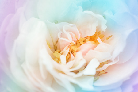 filters: beautiful rose  made with color filters Stock Photo
